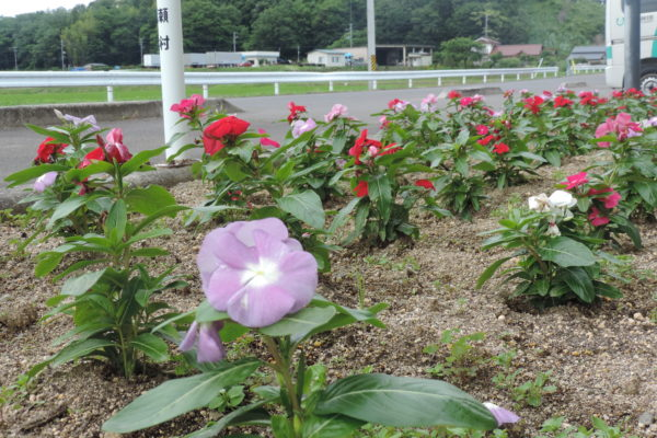 施設前花壇の日日草